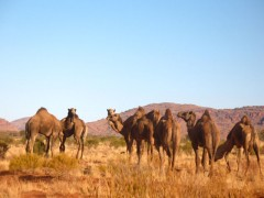 Camels near the roadhouse. - [Click for a Larger Image]